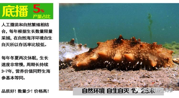 底播和纯野生海参.jpg