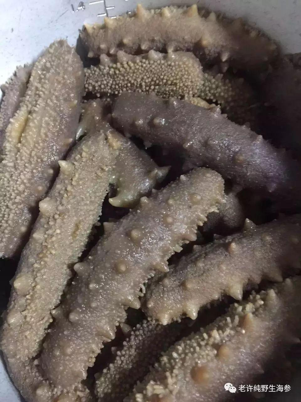 海参鉴别教程2:福建吊笼养殖海参特点